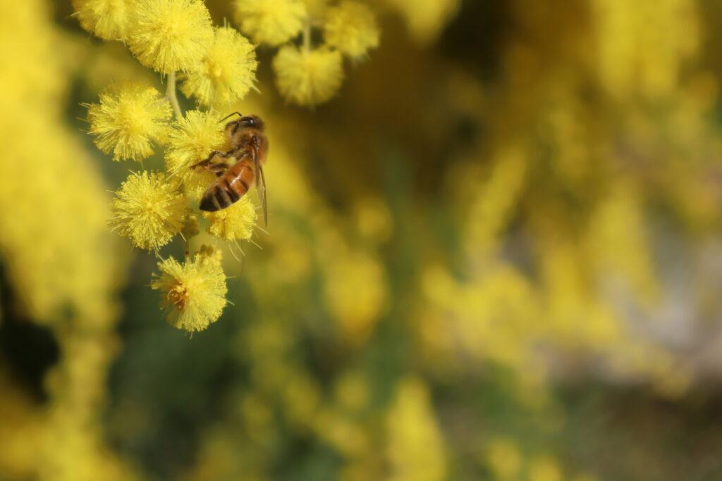 Foto di un'ape che si nutre della mimosa del mio giardino.